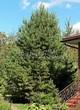 Посадка крупномеров Сосны обыкновенной (Pinus sylvestris) - 202
