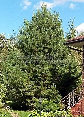 Посадка крупномеров Сосны обыкновенной (Pinus sylvestris) - Фото 202 - Высаженный крупномер Сосны обыкновенной (Pinus sylvestris) на участке возле дома всегда украшает ландшафт и приносит на него свои целебные свойства