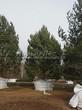 Посадка крупномеров Сосны обыкновенной (Pinus sylvestris) - 203
