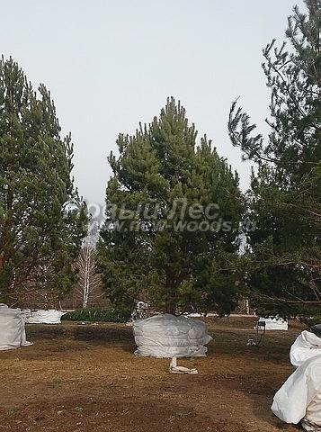 Посадка крупномеров Сосны обыкновенной (Pinus sylvestris) - Фото 203 - Хвойные крупномеры сосны, подготовленные для зимней и весенней посадки (высоты 6, 7, 8, 9, 10 метров и выше; Тульская область)
