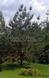 Посадка крупномеров Сосны обыкновенной (Pinus sylvestris) - 204