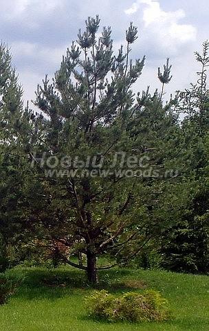 Посадка крупномеров Сосны обыкновенной (Pinus sylvestris) - Фото 204 - Посадка крупномера Сосна обыкновенная, произведенная в рамках озеленения ландшафтного участка дала быстрый результат (Ступинский район, Московская область)