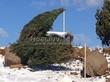 Посадка крупномеров Сосны обыкновенной (Pinus sylvestris) - 205