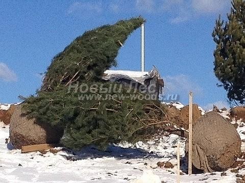 Посадка крупномеров Сосны обыкновенной (Pinus sylvestris) - Фото 205 - Сосны обыкновенные, завезённые для зимней посадки на озеленяемой территории в рамках проекта ландшафтного дизайна (высота крупномеров - 5-6 метров, Домодедовский район)