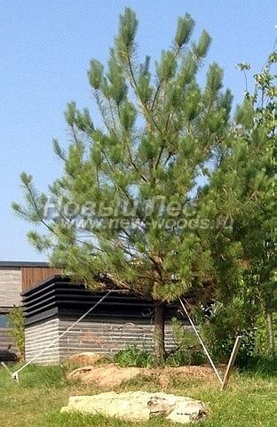Посадка крупномеров Сосны обыкновенной (Pinus sylvestris) - Фото 206 - Посадка крупномерной сосны на участке возле загородного дома (Тульская область, Заокский район, высота - 5 метров, Pinus sylvestris)