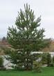 Посадка крупномеров Сосны обыкновенной (Pinus sylvestris) - 207