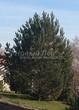 Посадка крупномеров Сосны обыкновенной (Pinus sylvestris) - 208
