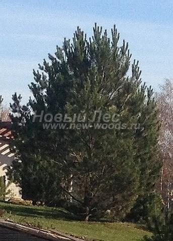 Посадка крупномеров Сосны обыкновенной (Pinus sylvestris) - Фото 208 - Крупномеры высотой 7 метров, посадка Сосны обыкновенной в Московской области под ключ в рамках ландшафтного проекта (Каширский район)