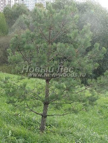 Посадка крупномеров Сосны обыкновенной (Pinus sylvestris) - Фото 209 - Сосна обыкновенная (крупномер высотой 3 метра), посадка которой осуществлена в одном из парков города Москвы
