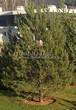 Посадка крупномеров Сосны обыкновенной (Pinus sylvestris) - 210