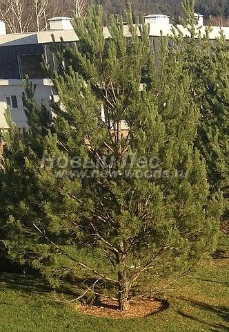 Посадка крупномеров Сосны обыкновенной (Pinus sylvestris) - Фото 210 - Крупномерное хвойное дерево Сосны обыкновенной, высаженное в ландшафтном проекте на одном из участков в ДОмодедовском районе Московской области (высота 8 метров)