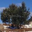Посадка крупномеров Сосны обыкновенной (Pinus sylvestris) - 211