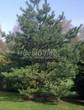 Посадка крупномеров Сосны обыкновенной (Pinus sylvestris) - 212