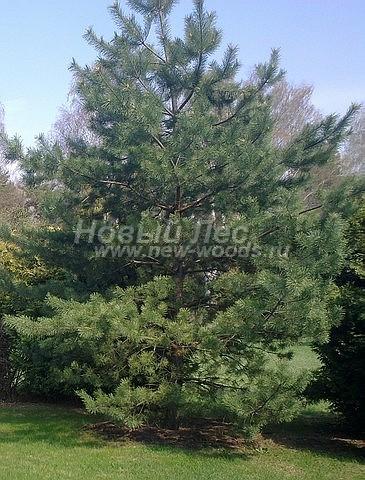 Посадка крупномеров Сосны обыкновенной (Pinus sylvestris) - Фото 212 - Сосна обыкновенная, крупномер высотой 5 метров. Посадка осуществлена в проекте озеленения частного участка (Тульская область)