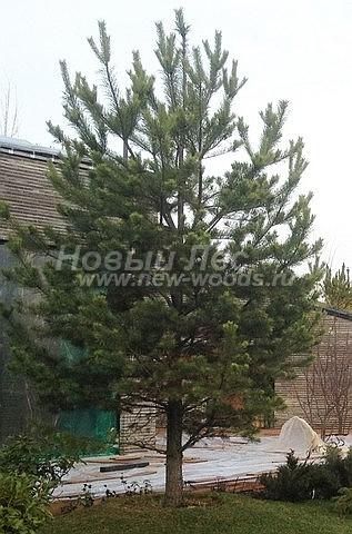 Посадка крупномеров Сосны обыкновенной (Pinus sylvestris) - Фото 213 - Посадка крупномерных деревьев обычно происходит ещё на том этапе, когда не завершено строительство зданий (к моменту завершения растения уже приживаются на новом месте)