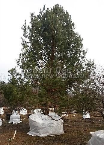 Посадка крупномеров Сосны обыкновенной (Pinus sylvestris) - Фото 214 - Крупномерная Сосна, отобранная для посадки на территории возле одно из частных клиник в Московской области