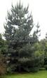 Посадка крупномеров Сосны обыкновенной (Pinus sylvestris) - 215