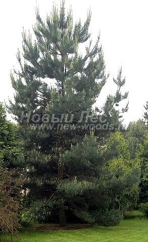 Посадка крупномеров Сосны обыкновенной (Pinus sylvestris) - Фото 215 - Сосна, высаженная в рамках проекта в Подольском районе Подмосковья (дерево высотой 5,5 метров замечательно прижилось и дало весенние побеги)