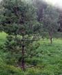 Посадка крупномеров Сосны обыкновенной (Pinus sylvestris) - 216