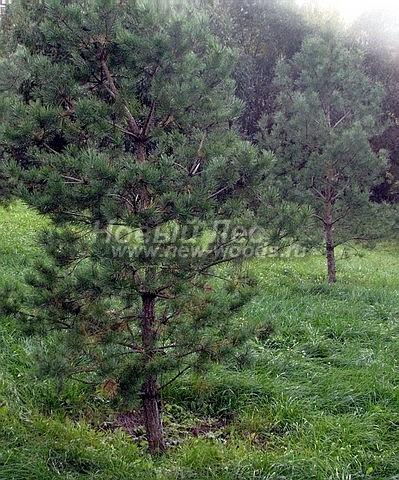 Посадка крупномеров Сосны обыкновенной (Pinus sylvestris) - Фото 216 - Сосны-крупномеры (3 метра), высаженные для укрепления склона (Балашихинский район, Мос обл)