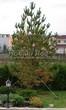 Посадка крупномеров Сосны обыкновенной (Pinus sylvestris) - 217