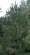 Посадка крупномеров Сосны обыкновенной (Pinus sylvestris) - 218