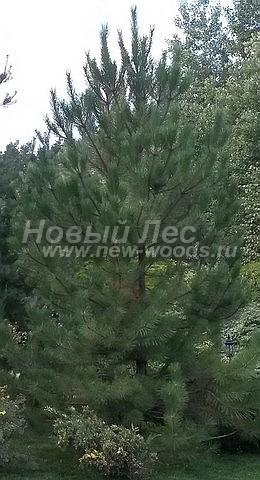 Посадка крупномеров Сосны обыкновенной (Pinus sylvestris) - Фото 218 - Дерево высотой 4 метра. Посадка производилась совместно с другими хвойными и лиственными крупномерами по проекту (Чеховский район, Московская область)