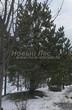 Посадка крупномеров Сосны обыкновенной (Pinus sylvestris) - 219