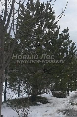 Посадка крупномеров Сосны обыкновенной (Pinus sylvestris) - Фото 219 - Деревья Сосны обыкновенной (хвойные крупномеры различного возраста и высоты) в питомнике Сады Ясногорья (Ясногорский район, Тульская область)