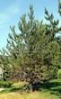 Посадка крупномеров Сосны обыкновенной (Pinus sylvestris) - 220