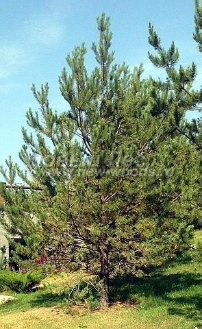 Посадка крупномеров Сосны обыкновенной (Pinus sylvestris) - Фото 220 - Посадка Сосны, осуществлённая на частной территории в Подольском районе  (крупномер, высота 6 метров)
