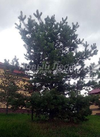 Посадка крупномеров Сосны обыкновенной (Pinus sylvestris) - Фото 221 - Крупномеры сосны обыкновенной, высаженные для озеленения территории государственного бюджетного учреждения