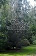 Посадка крупномеров Сосны обыкновенной (Pinus sylvestris) - 222