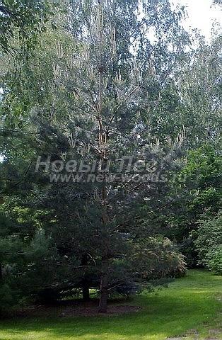 Посадка крупномеров Сосны обыкновенной (Pinus sylvestris) - Фото 222 - Всенние побеги на Сосне обыкновенной после зимней посадки указывают на то, что на хорошо перенесла пересадку (крупномер, высота6 метров, Волоколамский район)