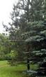 Посадка крупномеров Сосны обыкновенной (Pinus sylvestris) - 223
