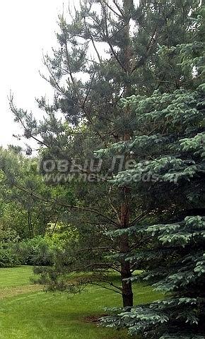 Посадка крупномеров Сосны обыкновенной (Pinus sylvestris) - Фото 223 - Ландшафтный проект под ключ: высаженные Сосны, ели и лиственные крупномеры, кустарники; вымощенные дорожки; уложенные газоны  (Пушкинский район)