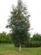 Посадка крупномеров Березы повислой (бородавчатой) (Betula pendula) - 201