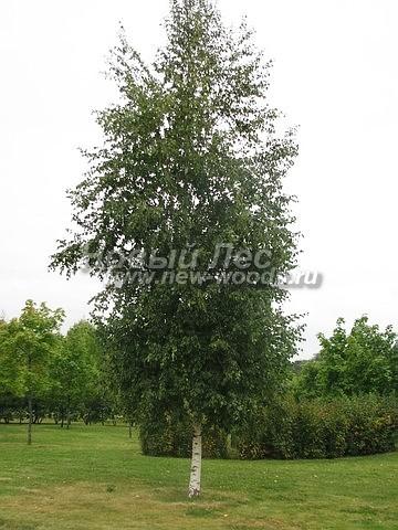 Береза повислая (Береза бородавчатая): посадка крупномеров лиственных деревьев