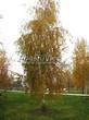 Посадка крупномеров Березы повислой (бородавчатой) (Betula pendula) - 202