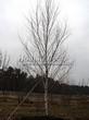 Посадка крупномеров Березы повислой (бородавчатой) (Betula pendula) - 203
