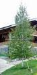 Посадка крупномеров Березы повислой (бородавчатой) (Betula pendula) - 204