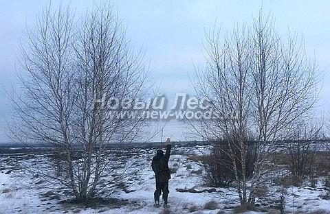 Посадка крупномеров лиственных деревьев Березы повислой