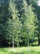 Посадка крупномеров Березы повислой (бородавчатой) (Betula pendula) - 206