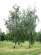Посадка крупномеров Березы повислой (бородавчатой) (Betula pendula) - 207