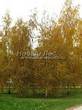 Посадка крупномеров Березы повислой (бородавчатой) (Betula pendula) - 208