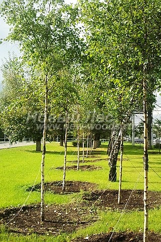 Береза повислая: лиственный крупномер
