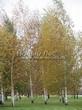 Посадка крупномеров Березы повислой (бородавчатой) (Betula pendula) - 210