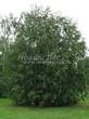 Посадка крупномеров Березы повислой (бородавчатой) (Betula pendula) - 211