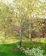 Посадка крупномеров Березы повислой (бородавчатой) (Betula pendula) - 212