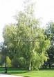 Посадка крупномеров Березы повислой (бородавчатой) (Betula pendula) - 213